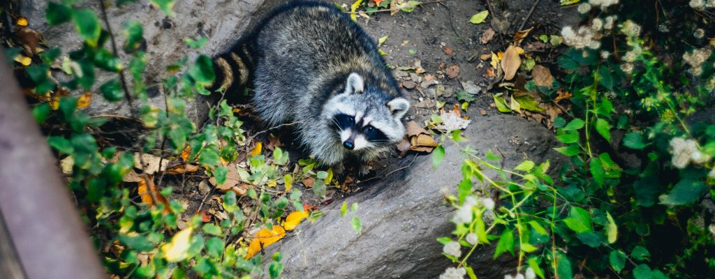 Of Groundhogs and Raccoons